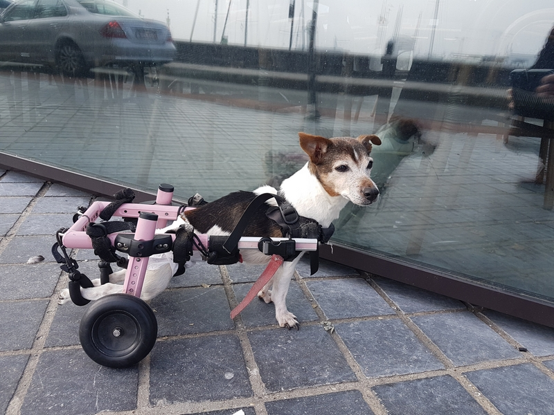 [ID: Small dog, with white, brown and black patches, looking sideways. Back legs are strapped in pink wheelchair. ]