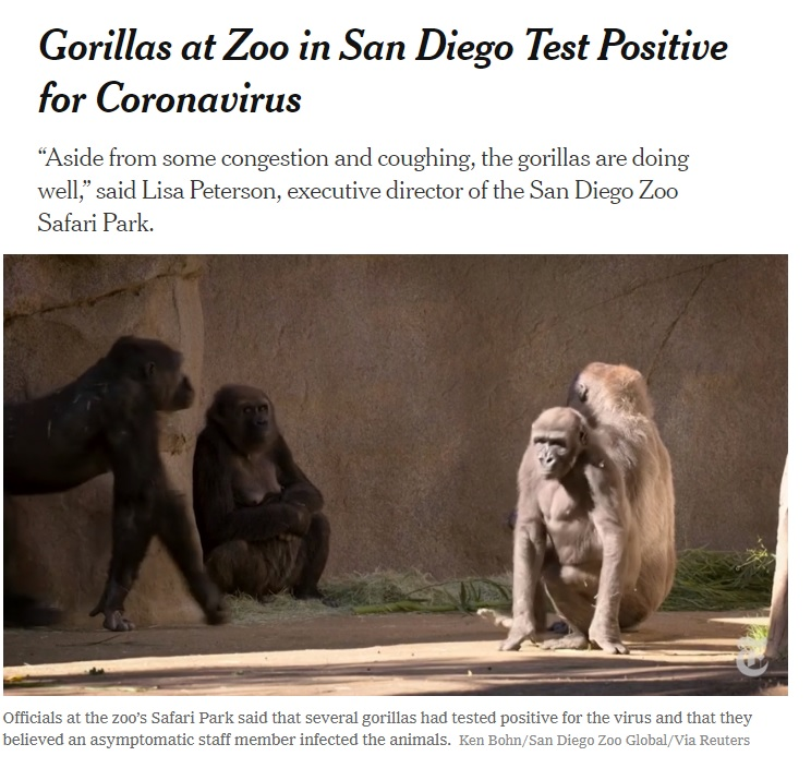 """'Gorillas at Zoo in San Diego Test Positive for Coronavirus """"Aside from some congestion and coughing, the gorillas are doing well,"""" said Lisa Peterson, executive director of the San Diego Zoo Safari Park. Officials the zoo's Safari Park said that several gorillas had tested positive for the virus and that they believed an asymptomatic staff member infected the animals. Ken Bohn/ San Diego Zoo Global/ Reuters' With photo of 4 gorillas in zoo environment - boulders]"""