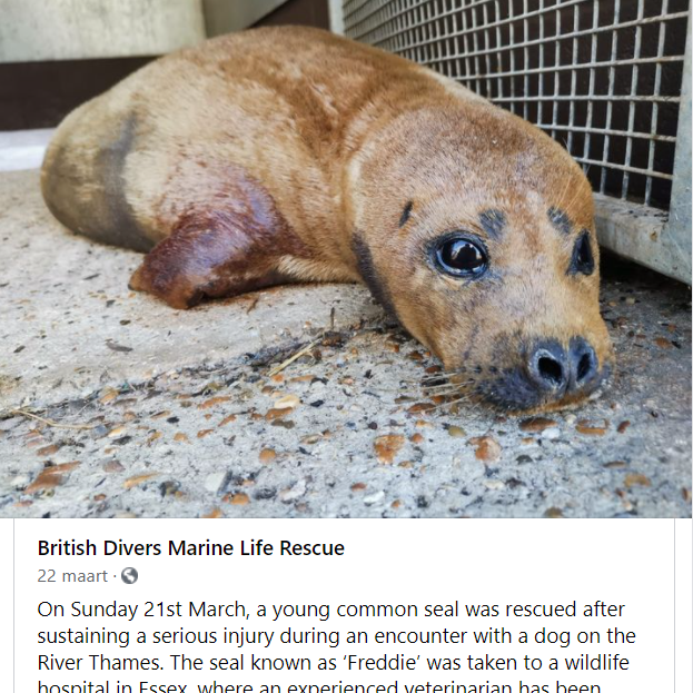 screenshot of facebook post. Photo of seal, lying on ground, fence in background.  'British Divers Marine Life Rescue  22 maart On Sunday 21st March, a young common seal was rescued after sustaining serious injury during an encounter with dog on the River Thames. The seal known as 'Freddie' was taken to a wildlife hospital in Essex where an experienced veterinarian has been' .